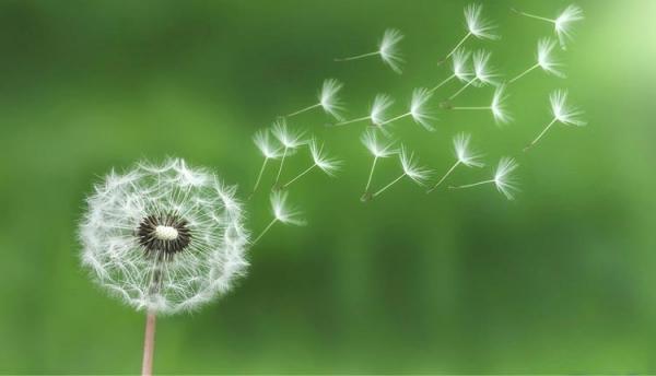 متن گل قاصدک ؛ 25 شعر، جمله و متن در خصوص گل قاصدک